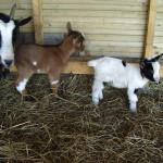 camping avec parc animalier chèvres